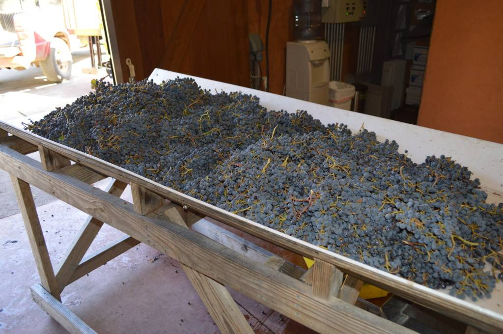 Grapes being prepared for sorting