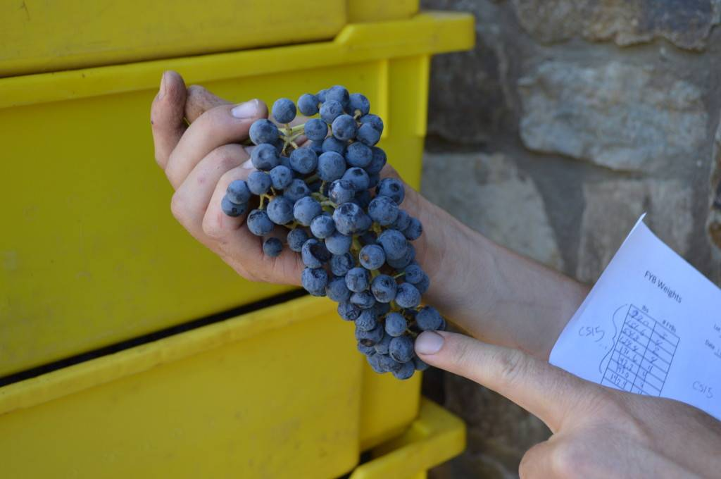 Seavey Winemaker Jim Duane explains the even ripening of the 2013 vintage